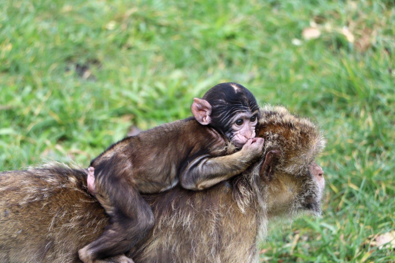 Givskud Zoo Affengehege