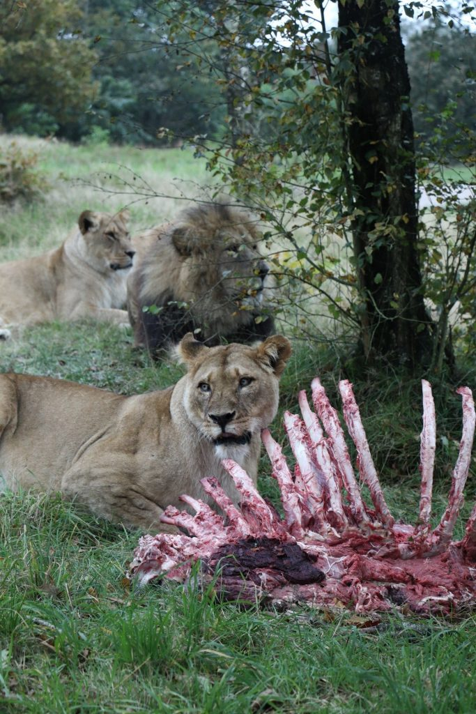 Givskud Zoo Löwengehege